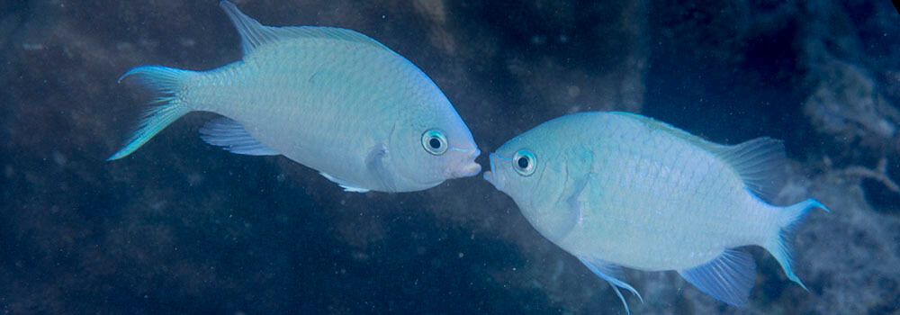 Blue-green chromis appear to be kissing but are really fighting during a mating event on the reef