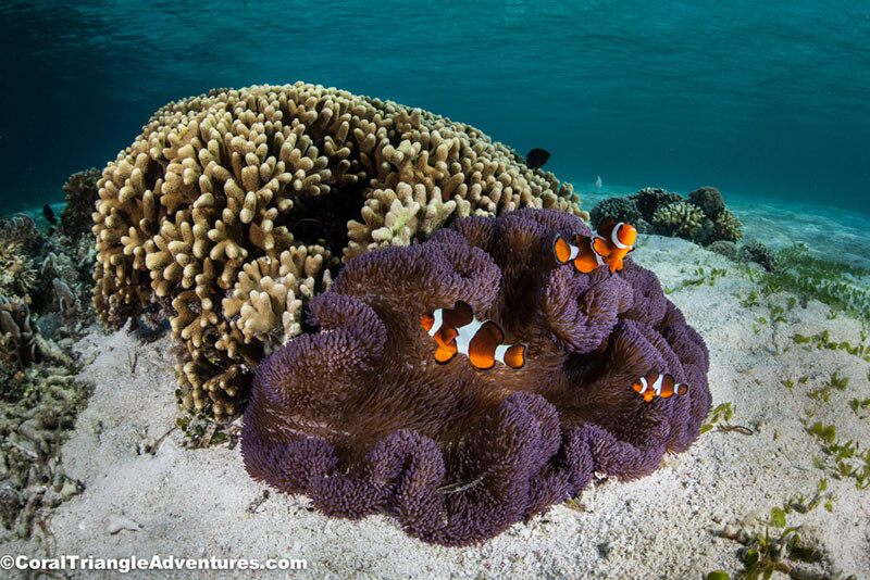 False clownfish with a purple anemone in shallow water
