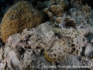 crocodile flatheads can be well camouflaged and often hard to spot