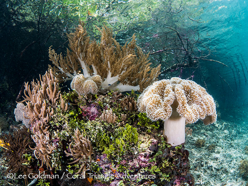 Soft corals and algae converge under a stand of mangroves in Raja Ampat