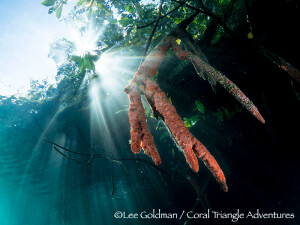 Sunbeams illuminate sponge-covered mangrove roots in Raja Ampat, Indonesia