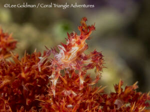 soft coral crabs live on dendronphthya soft corals