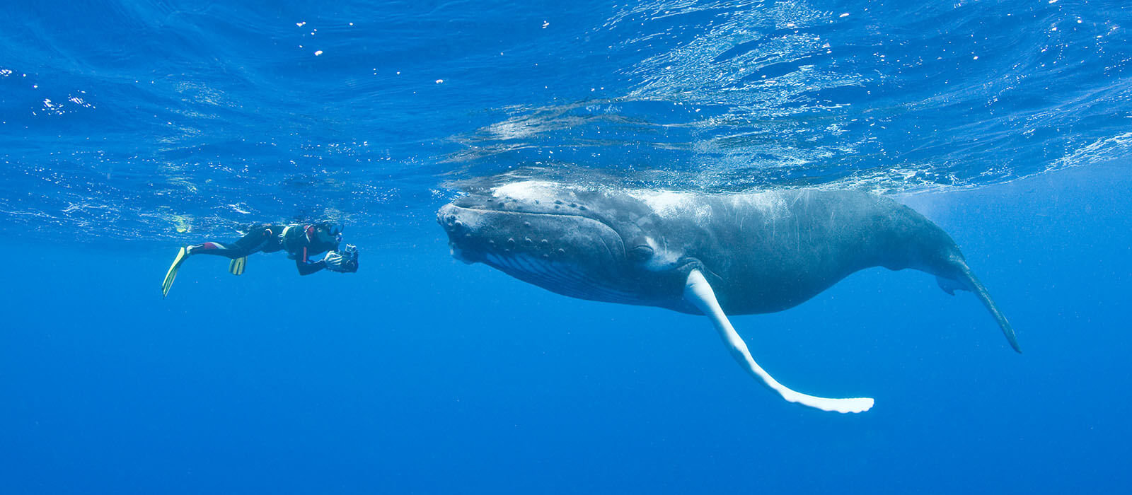 snorkeler photographing a humpback whale - coral triangle adventures
