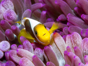 A White-bonnet anemonefish peeks out form its anemone in the solomon islands - coral triangle adventures