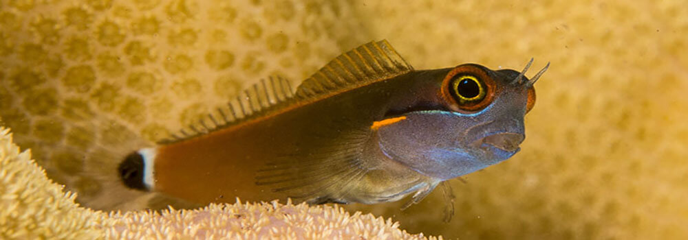 Tailspot blenny in Raja Ampat, Indonesia