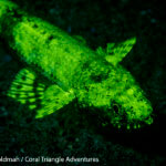 A lizardfish fluorescing in Komodo National Park - Coral Triangle Adventures