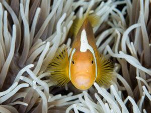 white bonnet anemone fish in the Solomon Islands - coral triangle adventures