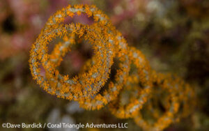 Corkscrew wire coral (Cirripathes spiralis) photographed in Raja Ampat