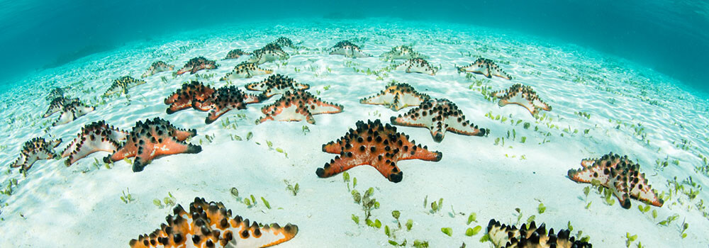 Choclate chip sea stars in Raja Ampat, Indonesia