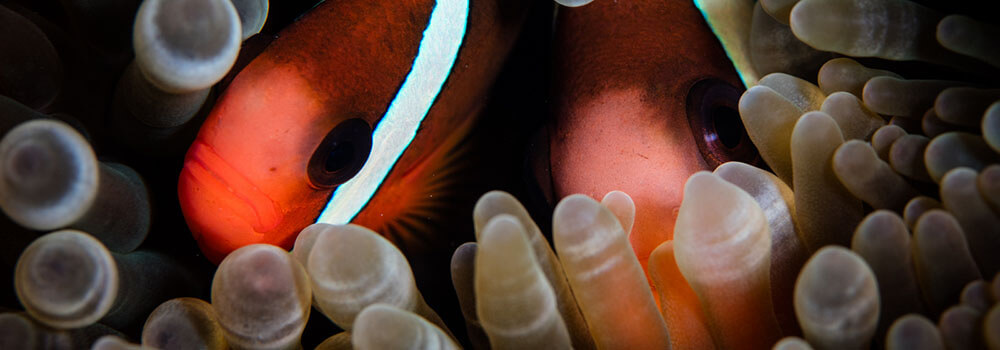 close up of anemonefish photographed in Alor, Indoneisa