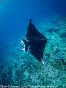 Manta ray photographed in Komodo National Park - coral triangle adventures