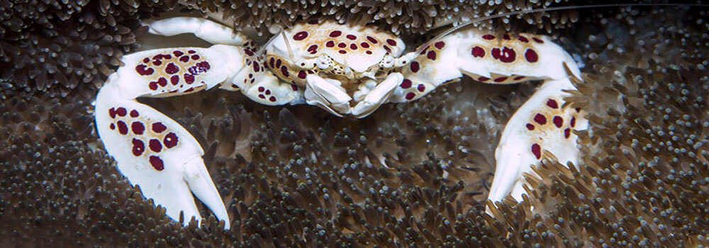 Porcelain crab photographed by coral triangle adventures