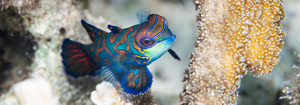 mandarinfish photographed in Palau by coral triangle adventures
