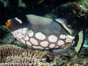 Clown triggerfish photographed in Komodo by coral triangle adventures