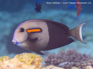 Orange shoulder surgeonfish photographed while snorkeling in Indonesia by coral triangle adventures