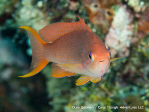 Threadfin anthias photographed in Indonesia by coral triangle adventures