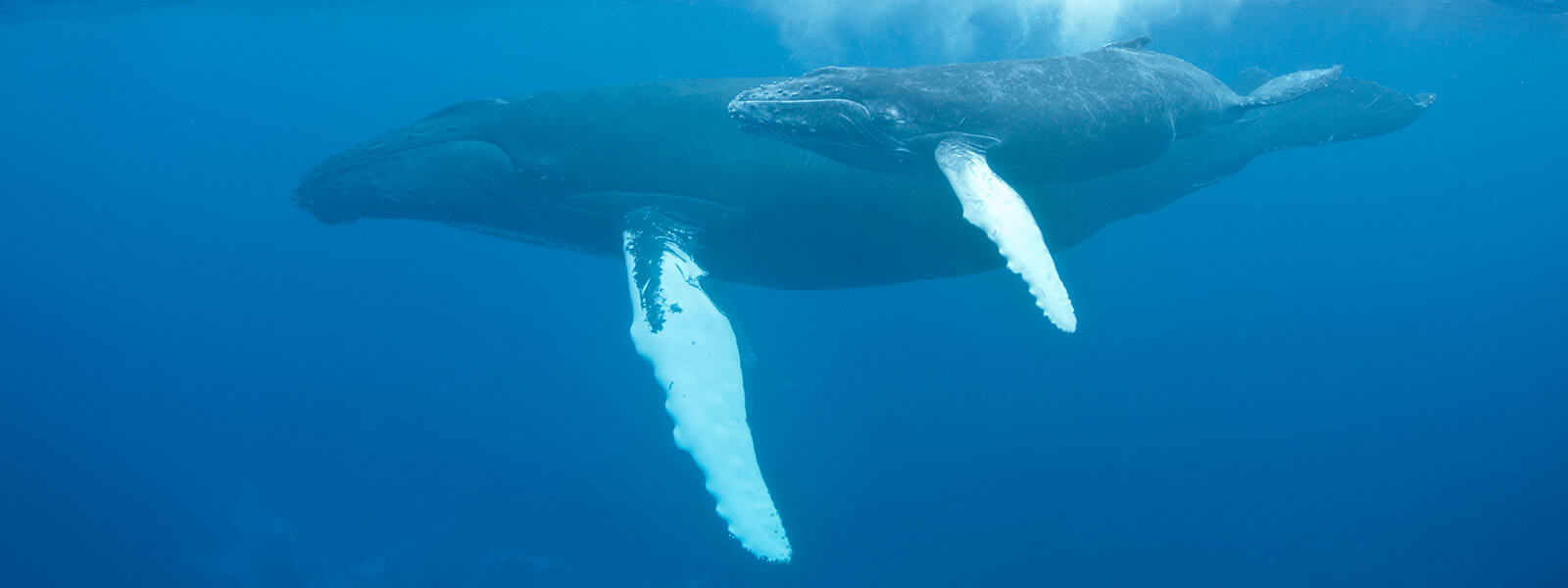 We see humpbacks like this on our humpback whales snorkeling tour
