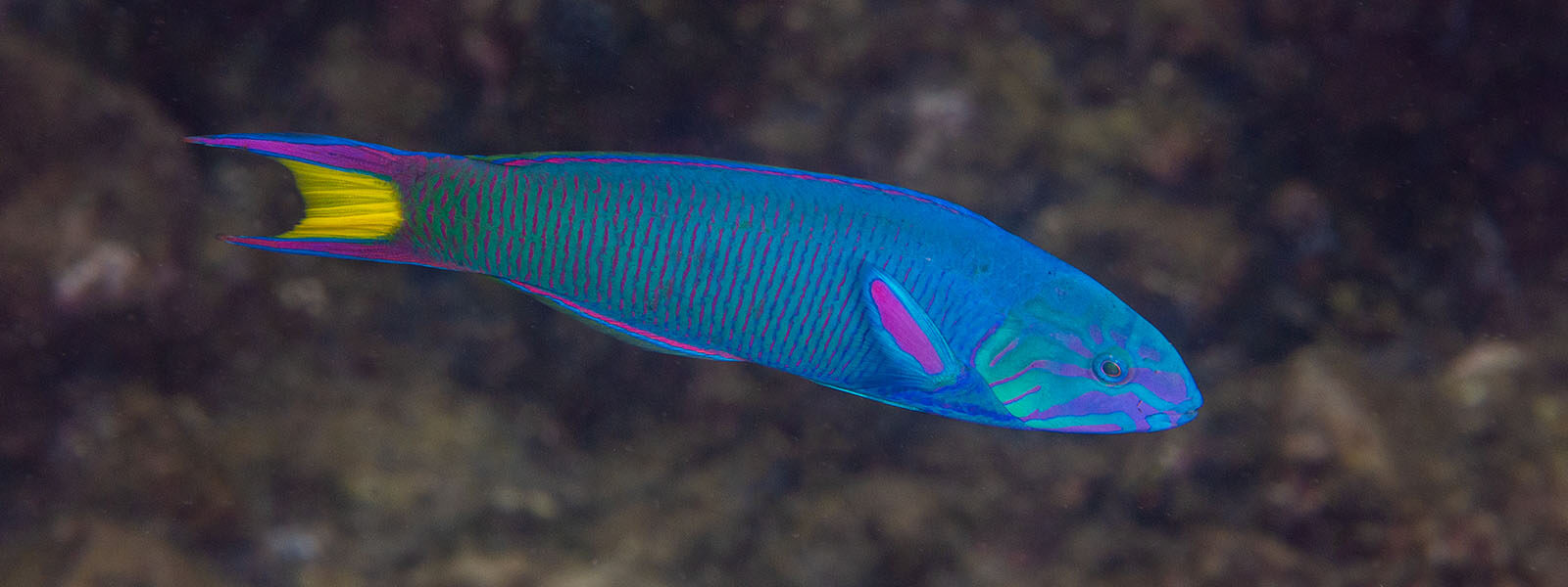 Crescent tail wrasse is a good fish mascot for our total solar eclipse snorkeling tour