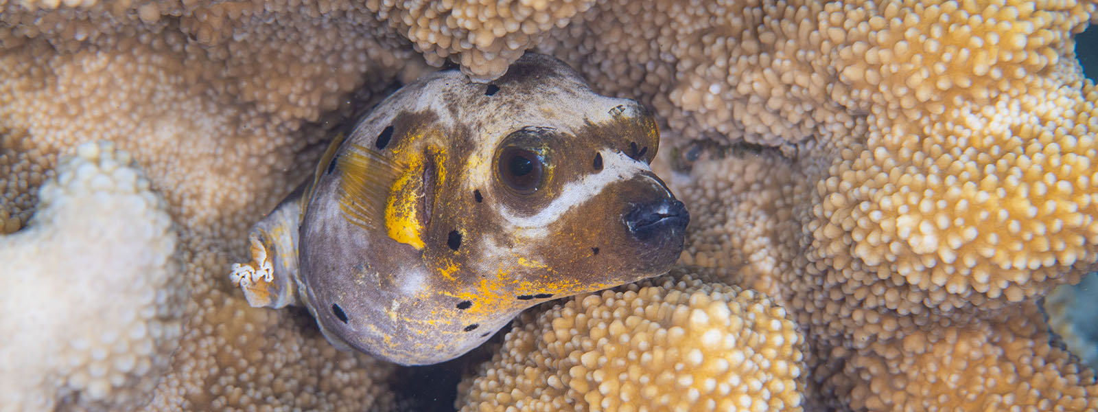 Pufferfish are common on reefs we snorkel upon in places like Ambon, Alor, and Komodo