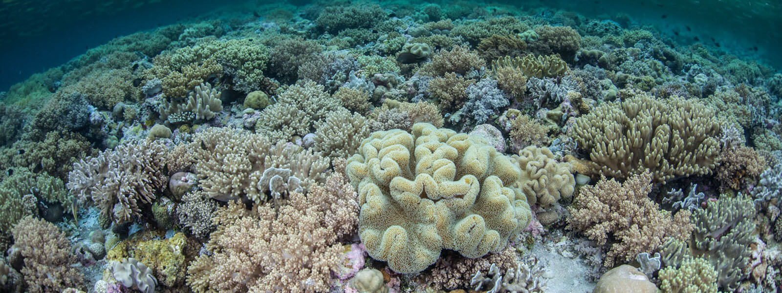 We see a lot of soft corals on our coral triangle adventures snorkeling tour to Wakatobi